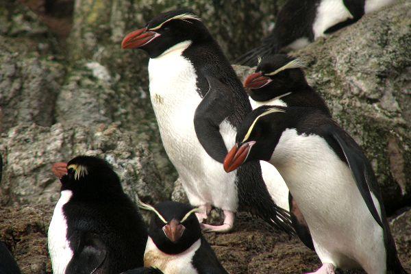 Snares Penguin - Eudyptes robustus