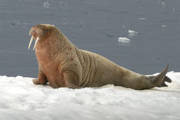 Walrus Physical Characteristics