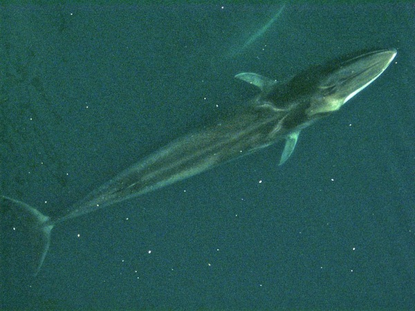 Fin whale from air / Courtesy of Noaa
