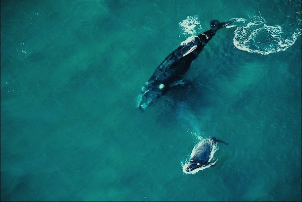 Mother Whale and calf