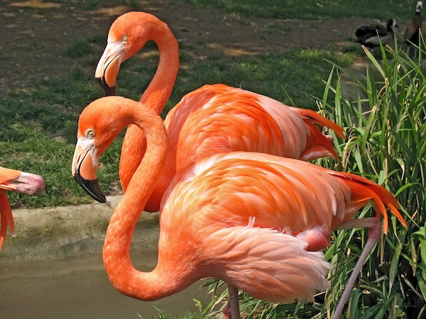 Two American flamingos in captivity