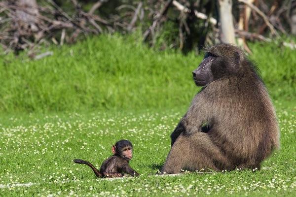 Baboon - Old World monkey