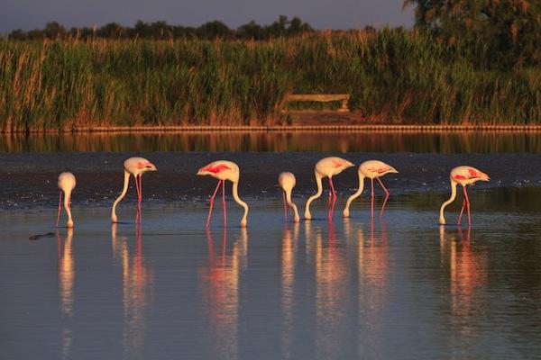 Flamingos eating habits