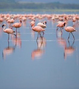 Flamingo facts and information