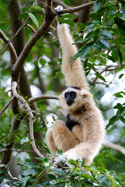 Gibbons in rainforest