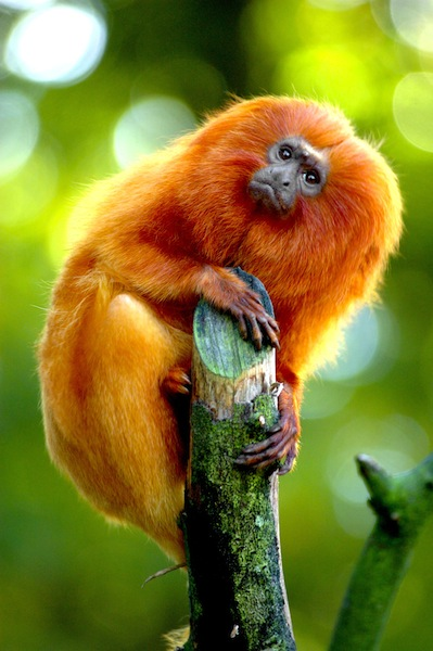 Small golden marmoset