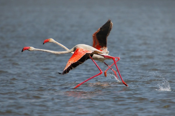 Greater Flamingo facts