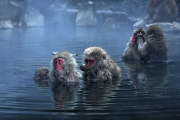 Snow monkey facts
