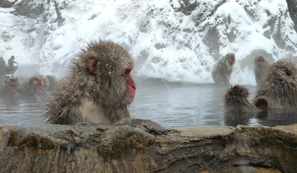 Japanese Macaque or Snow Monkey