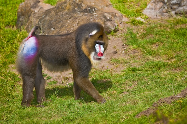 Mandrill, the big monkey