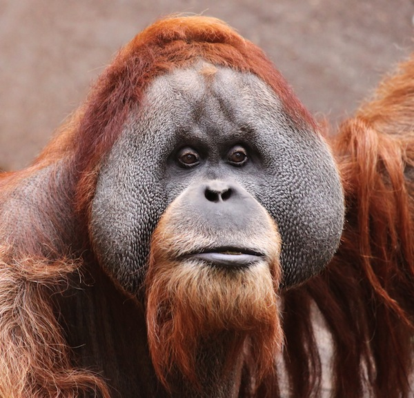 Orangutan facts and information