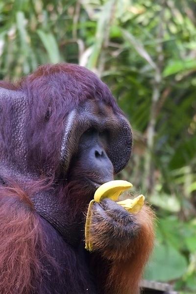 Orangutans feeding