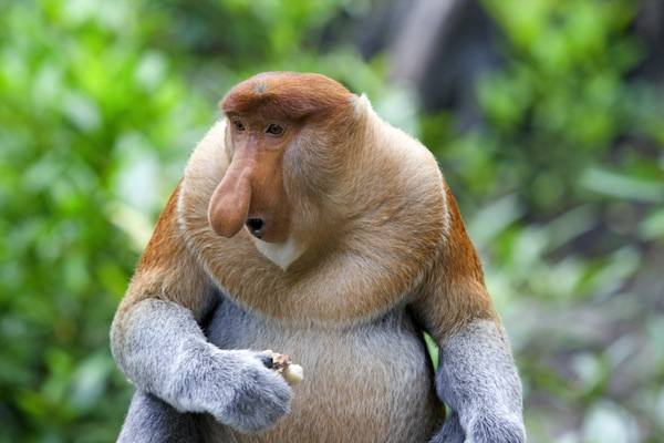 Long-nosed monkey facts
