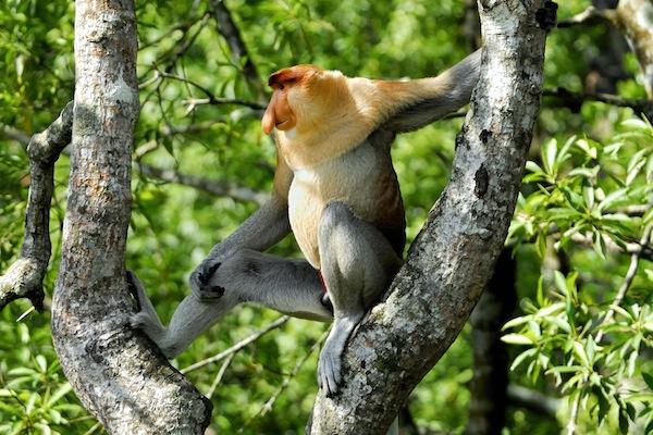 Proboscis monkey on a tree