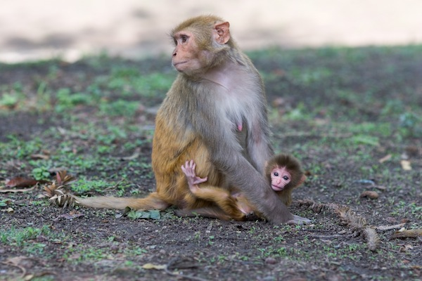 Rhesus monkey facts