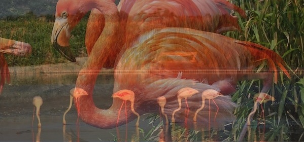 flamingo species.001
