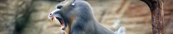 mandrill new world monkey