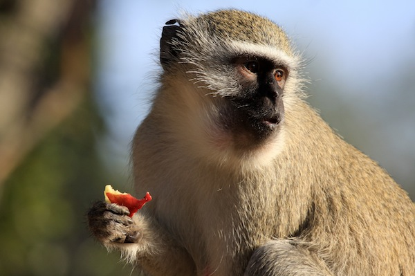 Vervet - Old World monkey