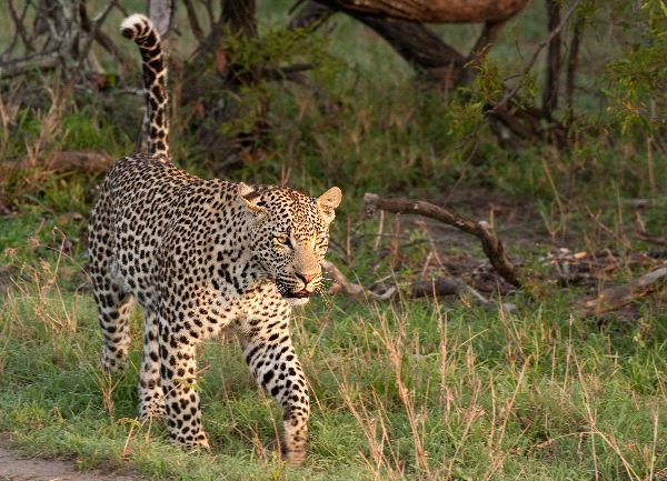 Feline habitat and distribution
