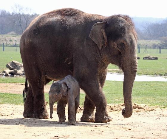 Asian Elephant - Elephas maximus