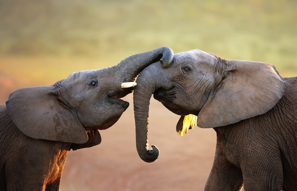 Elephants touching each other