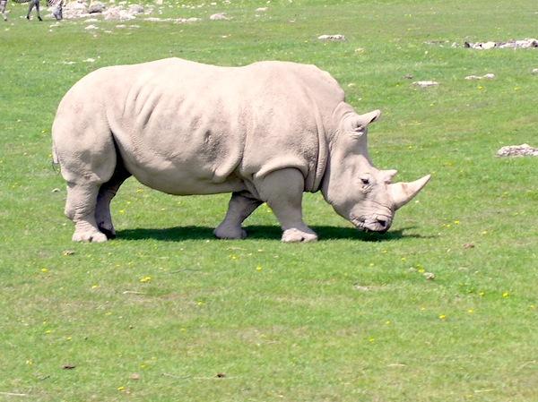 Facts about Rhinoceros Feeding