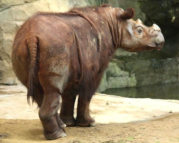 Sumatran rhinoceros facts