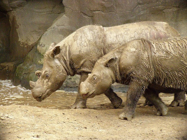 Sumatran Rhino - Dicerorhinus sumatrensis