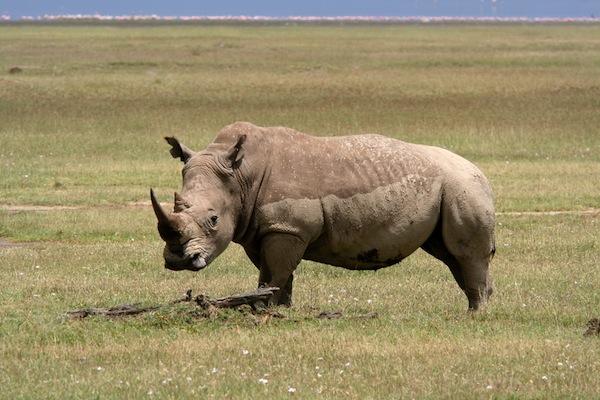Rhinoceros Distribution