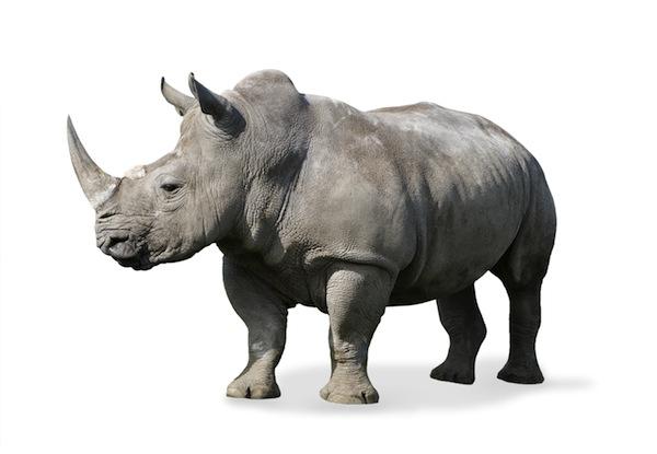 Rhinoceros Anatomy facts