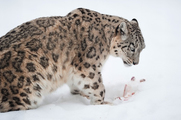 Snow leopard with his prey in the snow