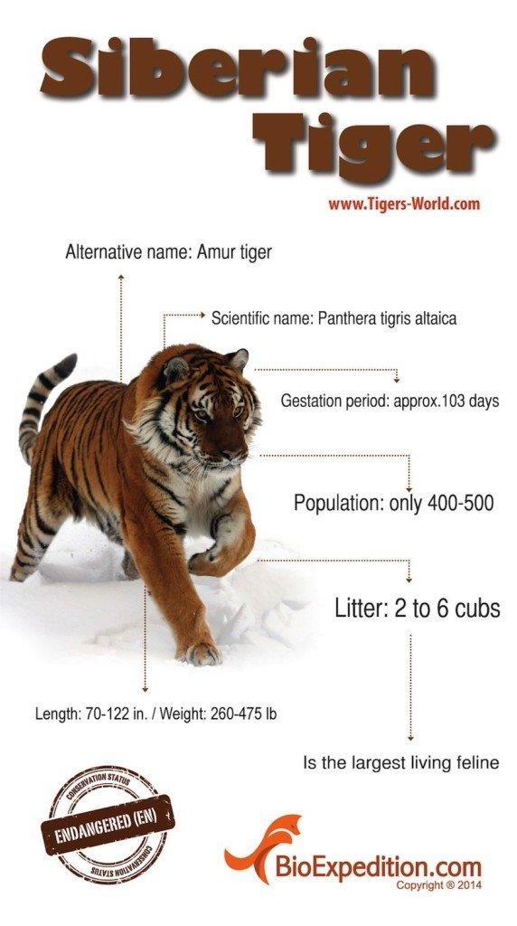 siberian-tiger copia